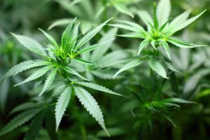 The Impact of Marijuana on the Frequency of Car Accidents